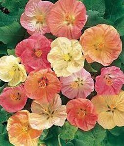 Abutilon Flowering Maple Bellvue Mix 50 Seeds Bogo 50 Off Sale
