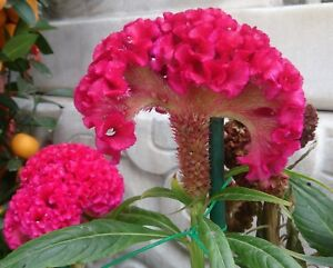 Red-Cockscomb-Seed-Celosia-cristata-Annual-Perennial-Brightly-Coloured-Crests