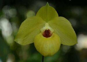 Paphiopedilum-armeniacum-orchid-plant-BLOOM-SIZE-Thailand-CITES-PHYTO