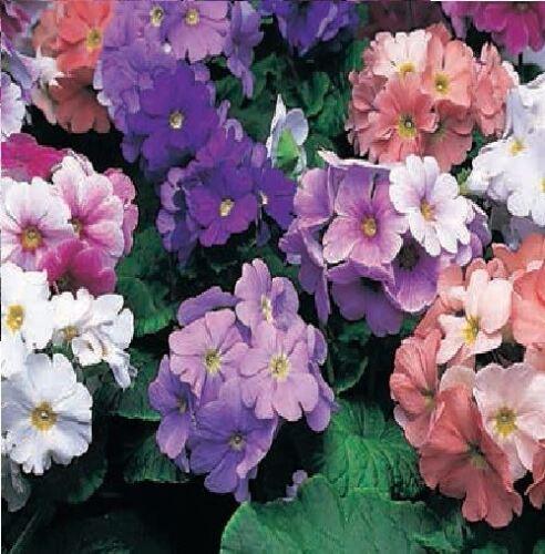 500 graines-en vrac Fleur-Primula obconica-Mélange libre