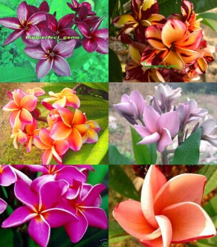 "NEW Cutting//Grafted plumeria//Plants///""Mixed 6 Types/"" //10-12 inches"