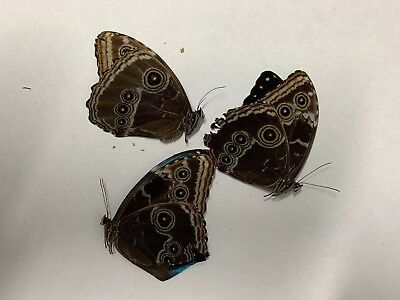 Morpho helenor Carillensis Female A1 Papered Specimen Ex Costa Rica