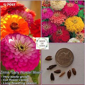 25-ZINNIA-034-Early-Wonder-Mixed-034-SEEDS-Zinnia-elegans-Big-bright-colourful-flower
