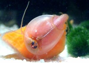 TRIOPS Red longicaudatus : (150-200+) high quality&pure eggs