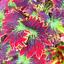 Japanese-Bonsai-Coleus-Foliage-plants-100-Pcs-Graines-Couleur-Rainbow-Dragon-Fleurs miniature 2