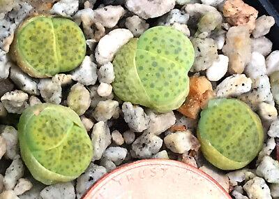Mesemb Plant--Lithops lesliei rubrobrunnea C204- ONE 2+yr Seedling!