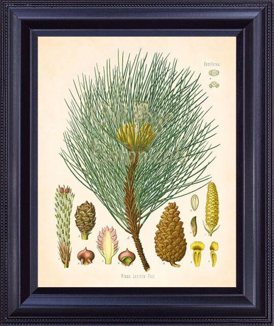 KOHLER Botanical Print 8x10 Vintage Art Corsican Pine Tree Large Shoots Cones