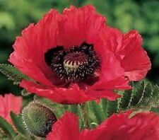 25+ Raspberry Brulee Papaver Flower Seeds / Orientale / Perennial
