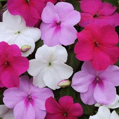 50 graines IMPATIENS Seeds Impreza Wedgewood Mix graines de fleurs