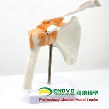 11 Human Life Size Shoulder Joint Anatomical Model Skeleton Medical Science