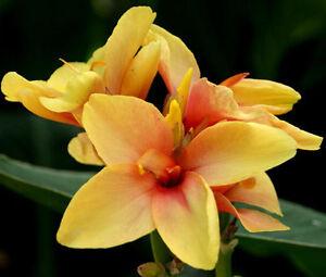 CANNA-YELLOW-Canna-x-Generalis-50-Bulk-Seeds