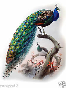 Image Is Loading Bird Poster Print 12x16 Inch Vintage Peacock Illustration