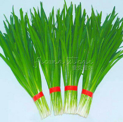400 Annual Chives Seeds Hot Vegetables Good taste Easy Grow DIY Home Herb TT444