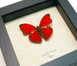 Real Framed Cymothoe Excelsa Red Butterfly 8146