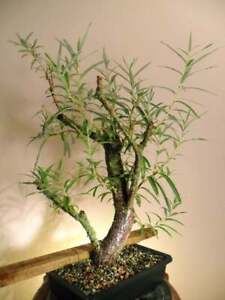 Bonsai-Hybrid-Willow-Tree-Thick-Trunk-Cutting-Exotic-Bonsai-Material