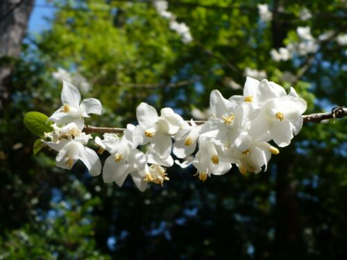 10  TWO WINGED SILVERBELL SEEDS Halesia diptera