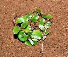 Pyrrosia nummulariifolia-raramente ofrecida comunidade Helecho para terrario