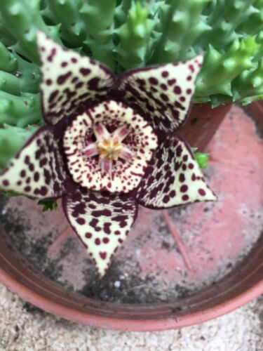 Stapelia Orbea variegata 2 small rooted plants in a pot Nice succulents