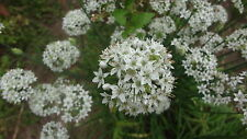 100+GARLIC CHIVES SEEDS,ASIAN HEIRLOOM,HERB,FALL WHITE FLOWERS, ALL PARTS EDIBLE