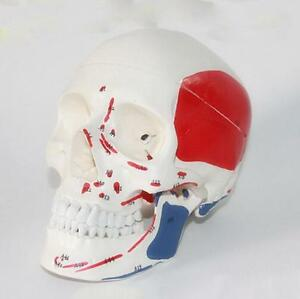 Life-Size-Anatomical-Deluxe-Human-Skull-Model-Medical-Skeleton-Anatomy-S