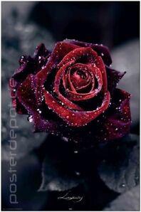 Poster Luxury Rose dunkelrote Blume Romantik Liebe 61 x 91,5 cm