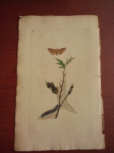 Edward Donovan Insects of Britain circa 1800 Hand colored butterfly Plate 95
