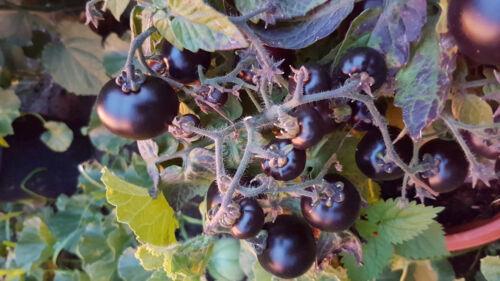 Zimmertomate reift früh kleineste Tomatenpflanze Blaue TOMATE für TOPF