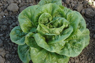 VEGETABLE  LETTUCE WINTER DENSITY  2 GM SEEDS ~  2030 SEEDS  ** FREE UK P&P**