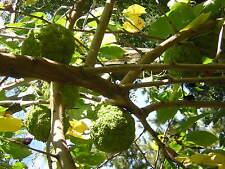 MACLURA POMIFERA 10 semi seeds Moro degli Osagi albero degli archi Osage orange