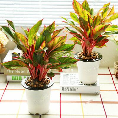 Bonsai Poinsettia Euphorbia Seeds Plants Pulcherrima Flowering Rare 100pcs