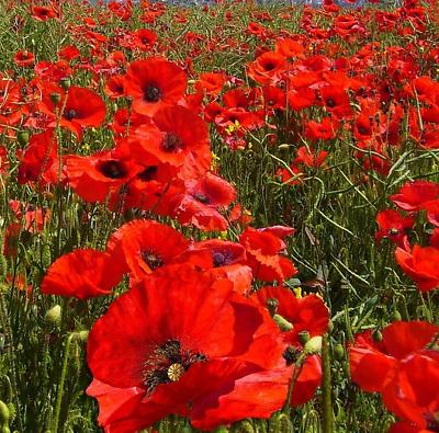 RED CORN POPPY AMERICAN LEGION Papaver Rhoeas 55,000 Bulk Seeds