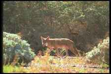 019045 Coyote Hunting In Sonoran Desert A4 Photo Print