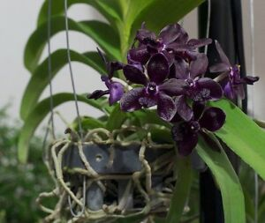 ORCHIDEE-RHY-SRI-SIAM-X-GIGANTEA-RED-JUNGPFLANZE-A-13-1