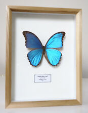 LEPIDOPTERA DOUBLE-GLASS FRAME BUTTERFLY BLUE MORPHO DIDIUS