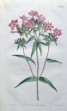 DOWNY PHLOX PILOSA North America Curtis Original Antique Botanical Print 1810