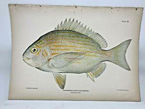 Original-Antique-Lithographic-Print-Fishes-Puerto-Rico-Bien-1899-Plate-26
