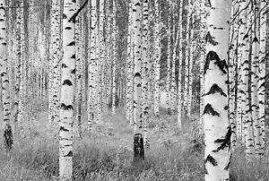 Fototapete birkenrinde  XXL Vlies Fototapete Komar Woods XXL4-023 Wald Bäume Birke Weiß ...