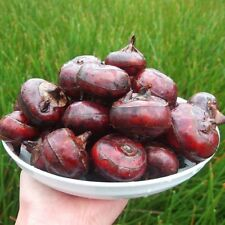 1Packet Water Chestnut Fruit Seed Super Big Sweet Honey-dew Seeds Garden