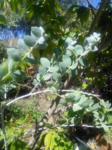 Bulk Fresh Seed Native Shaman Medicinal Acacia podalyriifolia Wattle