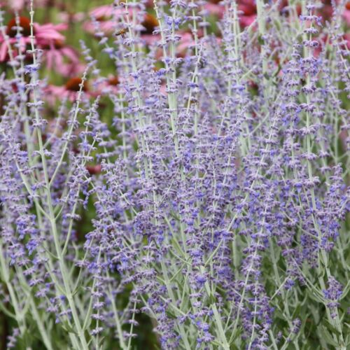 Perfect for Pollinators Perovskia /'Little Spire/'