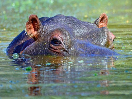 HIPPO HIPPOPOTAMUS EYES CLOSEUP SUBMERGED PHOTO ART PRINT POSTER BMP2172A