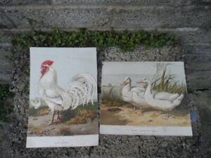 Harrison-weir-antique-prints-Pair-of-19th-century-colour-prints