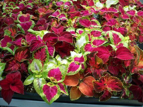 150 - Super Rainbow Mixed Colourful /& Easy To Grow! Premium Coleus Seeds