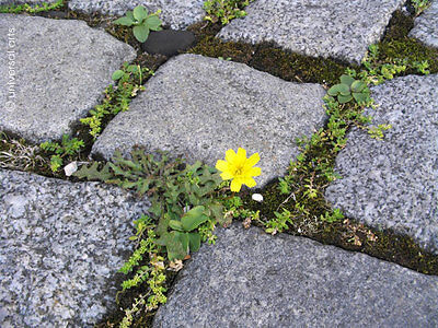 MARIO STRACK - SHE said 1 Cobblestone Flower limitierte Edition Bild Bilder art