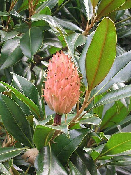10 Southern Magnolia Tree 12 White Flowers Native Grandiflora