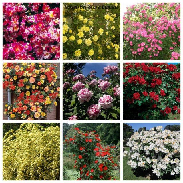 1x Climbing Rose Dawn Pot Garden Plants K P231 For Sale Online Ebay