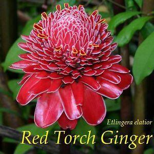 Red-Torch-Ginger-NOT-a-BR-Rhizome-Etlingera-elatior-LIVE-Small-Potted-Plant