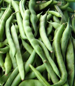 15+Kentucky Wonder Pole Bean Seeds All Seasons Green Garden Pole Bean USA