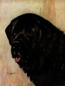 1930s-Antique-Newfoundland-Dog-Art-Print-F-T-Daws-Art-Print-3773n