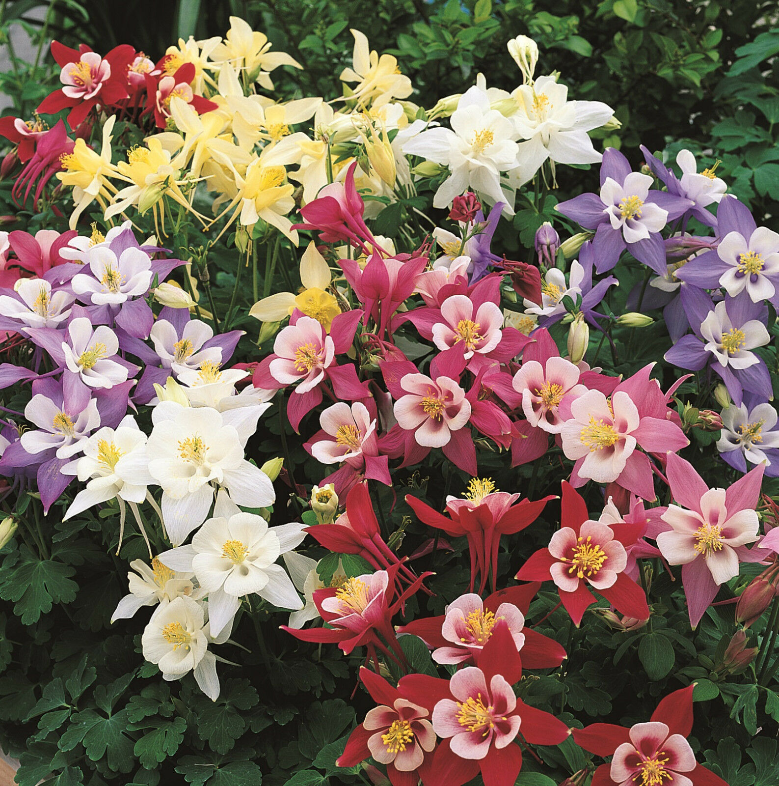 Columbine Flower Seeds Mix Colorful Bulk For Sale Online